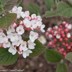 Beautify your garden space by growing this Proven Winners Spice Girl Korean Spice Viburnum Live Shrub White Flowers. Convenient to grow. Large Flowers, Colorful Flowers, Spring Flowers, White Flowers, Garden Shrubs, Flowering Shrubs, Trees And Shrubs, Landscaping Plants, Shade Garden