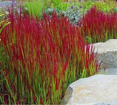 Imperata cylindrica Red Baron - Pack of THREE Japanese Blood Grasses - Ornamental Grasses - Garden Plants Landscaping Around Trees, Front Yard Landscaping, Landscaping Ideas, Landscaping With Grasses, Jardines Del Patio Frontal, Ideas Para El Patio Frontal, Architectural Plants, Ornamental Grasses, Ornamental Grass Landscape