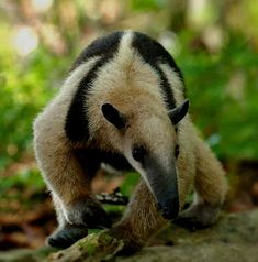 Northern  tamandua is an ant eater mammal that can reach over 5 ft.  and weight eight or more pounds.