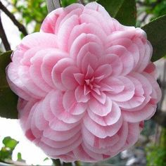 10 pcs Camellia Seeds Potted Plants Garden Flower Seeds Japanese Camellia Seeds,24 Colors Available