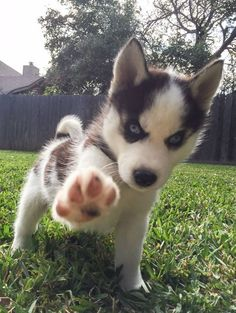Talk to the Husky paw...Cause the ears aren't listening!