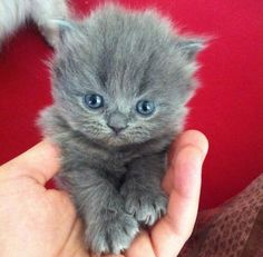 Russian Blue Cats Kittens Look. Just look at this tiny floof. Cutest Kittens Ever, Cute Cats And Dogs, Cute Cats And Kittens, Funny Kittens, Pretty Cats, Beautiful Cats, Pretty Kitty, Beautiful Places, Kitten Love