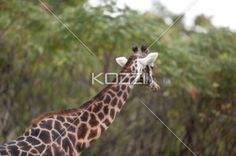 giraffe's lenghty neck - Giraffe neck can grow up to 1.5 meters average making it the tallest animal in the planet.
