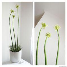 Florale Kunst, die ewig hält: Milchstern in weißer Vase.