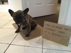 How To Potty Train Your French Bulldog Puppy