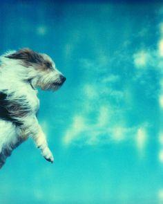 Jennifer  Rumbach: Flying Dog  (1/50). Digitaler #Pigmentdruck auf hochwertigem Fotopapier #Himmel #JackRussel #Terrier #Wind #Hund #flying #jenniferrumbach #Fotografie  #photography #Polaroid #startyourart #Edition www.startyourart.de