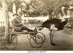Image result for old ostrich cart races