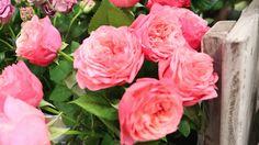 #Rosa #Rose #Moniek van der Berg from #Grower #WimvanKampen: Available at www.barendsen.nl