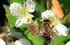 Wild Blackberries Flowers Close-Up, Rosaceae - Public Domain Photos, Free Images for Commercial Use Flower Close Up, Blackberries, Public Domain, Free Images, Insects, Commercial, Flowers, Plants, Photos