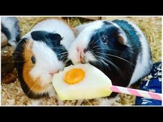Best of Guinea Pig Food Fights