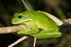 40 Really Amazing Tree Frog Pictures 17