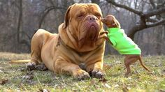 150 Pound French Mastiff gets a kiss from a 6 pound Chihuahua http://ift.tt/2gah4lN