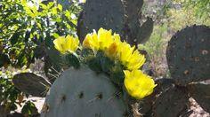Flores de nopal