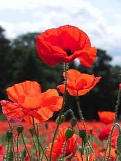 Red Corn Poppy - Papaver rhoeas