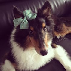 Sheltie just returned home from the Groomer