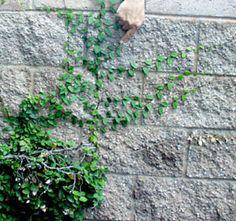 ficus pumila minima, on north wall
