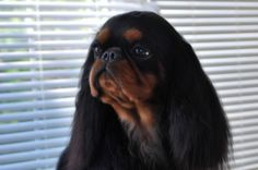 King Charles Spaniel (English Toy Spaniel)