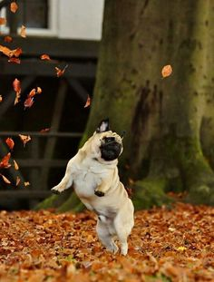 I love fall and so do pugs