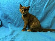 TO BE DESTROYED 6/19/14Manhattan CenterMy name is ONEIDA. My Animal ID # is A1003220.I am a female tortie domestic sh mix. The shelter thinks I am about 14 WEEKS old.I came in the shelter as a STRAY on 06/14/2014 from NY 10473, owner surrender reason stated was STRAY. I came in with Group/Litter #K14-181505.MOST RECENT MEDICAL INFORMATION AND WEIGHT06/14/2014 Exam Type VACCINATE - Medical Rating is 3 C - MAJOR CONDITIONS , Behavior Rating ...