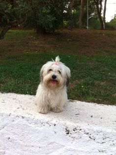 Havanese Dogs, Pet Breeds, Cute Puppies, Pets, Drinks, Animals, Drinking, Beverages, Animales
