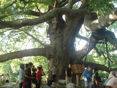 The sycamore tree which gave its name to the Oyukcinar Neighborhood at the North of Bursa was Turkey's largest tree with its 18.2 meters body width.At BURSA, in the Inkaya village located across the Uludag road, a 600 year old sycamore with the same name is very well known around the world. It's one of the oldest trees in Turkey with the thickness its branches at 3-4 meters and its frame at 9.2 meters.