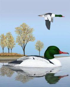 Common Merganser - Whatbird.com