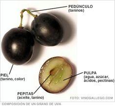 El grano de Uva: El Inicio del placer del Vino Chileno
