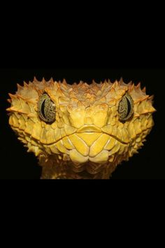 bush viper the grouch – Serpent tattoo Les Reptiles, Reptiles And Amphibians, Mammals, Beautiful Creatures, Animals Beautiful, Cute Animals, Snake Venom, Beautiful Snakes, Snake Eyes