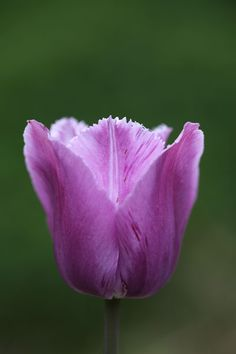 Buy fringed tulip bulbs Tulipa 'Blue Heron': Delivery by Crocus