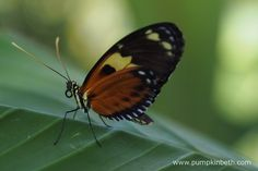 An exotic butterfly resting on a leaf, inside the Butterfly Dome, at the RHS Hampton Court Palace Flower Show 2016.