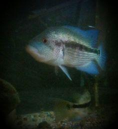 PSP, male parachromis dovii
