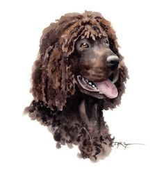 irish water spaniel art | IRISH WATER SPANIEL Dog Art Print Signed by Artist D J Rogers