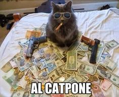 I will never let Bootsy watch the movie Scarface again. - LOLcats is the best place to find and submit funny cat memes and other silly cat materials to share with the world. We find the funny cats that make you LOL so that you don't have to. Crazy Cat Lady, Crazy Cats, I Love Cats, Cute Cats, Animal Pictures, Funny Pictures, Funniest Pictures, School Pictures, Funny Animals