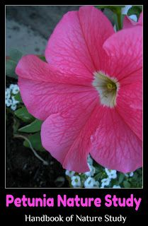 Handbook of Nature Study: Outdoor Hour Challenge: Petunia Flower Study with free printable notebook page