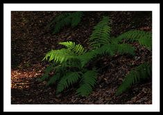 Jenny Rainbow Fine Art Photography Framed Print featuring the photograph Sunlit Fern Leaf In Dark Forest by Jenny Rainbow Framing Photography, Fine Art Photography, Framed Artwork, Framed Prints, Dark Forest, Frame Shop, Art Techniques, Fern, Large Prints