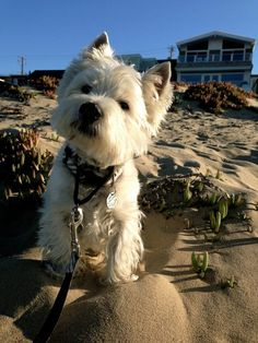 westie on the beach: