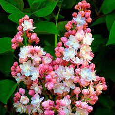 Lilac 'Belle De Moscou'