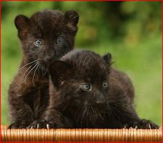 Panther Cub | Newborn Baby Panthers Tierpark Zoo Berlin Germany