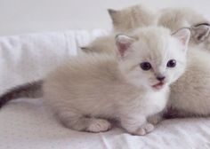 Gorgeous Munchkin Kittens for sale.Your dwarf little mates