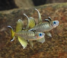 Pseudomugil signifer (Pacific blue eye) God community fish!