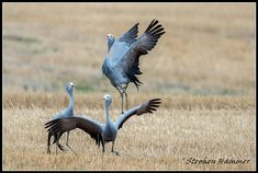 An interesting encounter between blue cranes and a Cape fox family in Cape Town. Beautiful Birds, Crane, South Africa, Sculptures, Cape Town, Dancing, Blue, Tattoo, Friends