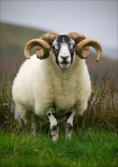 Ram - Isle of Skye, Scotland.  I'm an Aries, so I'm partial to rams.  And I'm partial to Scotland. And I'm partial to bonny men in kilts made of the wool of these wee beasties.