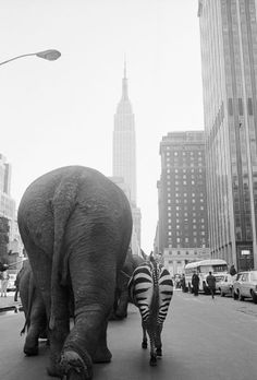 Elephants and a zebra walk down 33rd Street in Manhattan, 1968.