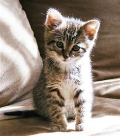 vmburkhardt: vmburkhardt: (via Good Morning Kitten - Kiwi [redux] - December Cute Cats And Kittens, Kittens Cutest, Crazy Cat Lady, Crazy Cats, Baby Animals, Cute Animals, Kiwi, Here Kitty Kitty, Kitty Cats