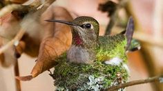 Photo gallery captures a hummingbird building her spring nest.