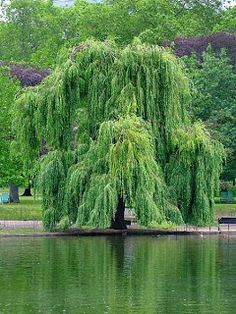 My favourite ~ I love the way it gently weeps and flows with the wind. The Willow is the tree of enchantment and is ruled by the moon.