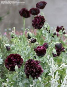 "For the gothic garden -- Papaver hybridum 'Black Peony' ""Black Peony Poppy"" Black Peony, Black Flowers, Beautiful Flowers, Beautiful Beautiful, Blue Peonies, Purple Poppies, Black Roses, Peonies Bouquet, Exotic Flowers"