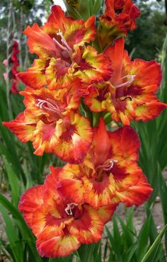Most Beautiful Flowers, All Flowers, Exotic Flowers, Orange Flowers, Pretty Flowers, Gladiolus Flower, Flower Landscape, Unique Plants, Flower Aesthetic