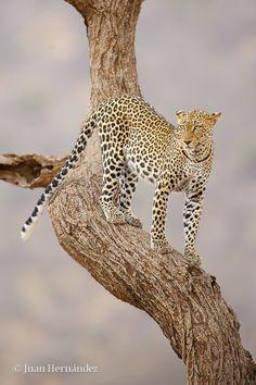 Leopardo by Juan Hernández Ruano, via 500px