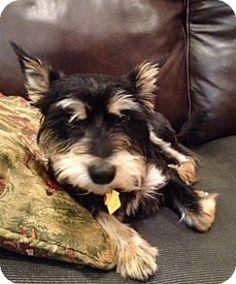 Rockaway, NJ - Standard Schnauzer Mix. Meet Pixel, a dog for adoption. http://www.adoptapet.com/pet/11454540-rockaway-new-jersey-standard-schnauzer-mix
